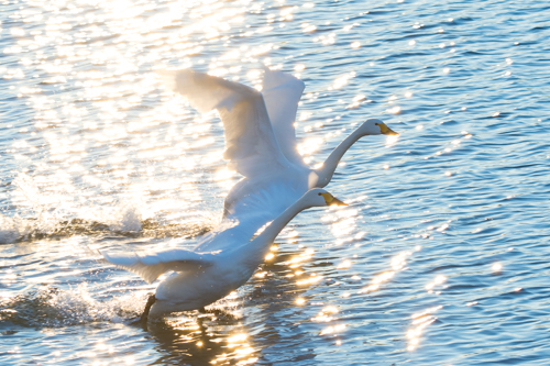 深谷市・川本の白鳥